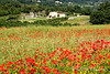 A poppy strewn Provencal landscape near Gordes, the Luberon, Provence, France, Europe