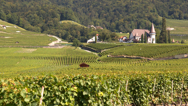 Vineyards as far as the eye can see, near Roche, Switzerland, Europe.