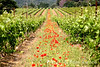 Poppies & vineyards, cornerstones of the famed Provençal landscape, Provence, France, Europe