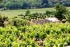 Vineyard strew landscape, Luberon, Provence, France, Europe