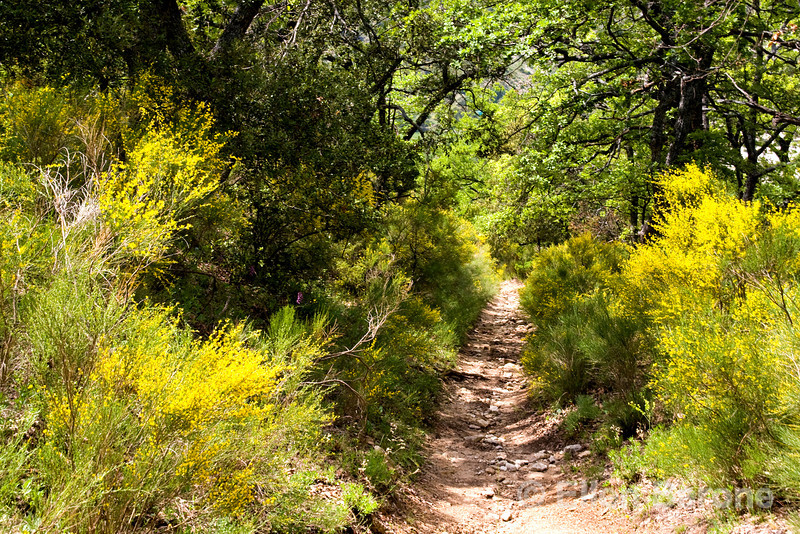 Broom lined forest trail near Buoux, the Luberon, Provence, France, Europe.