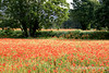 Fields of poppies near Lourmarin, Provence, France, Europe