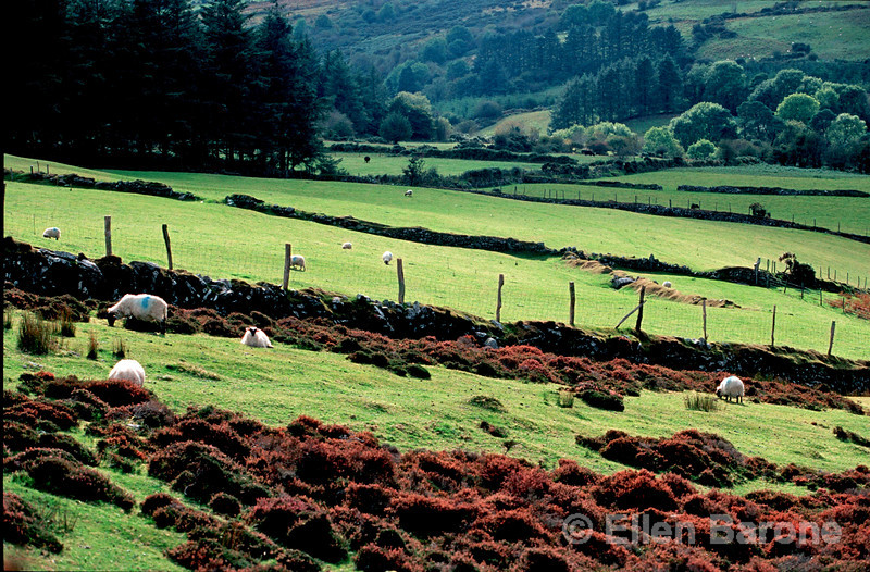 rural scenic, sheep and heather, Vee Valley, Ireland