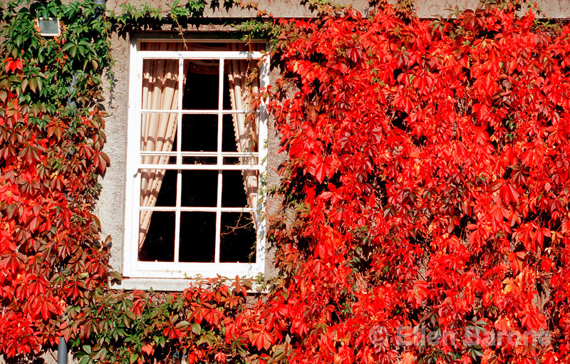 Ivy detail, country manor house, Ireland