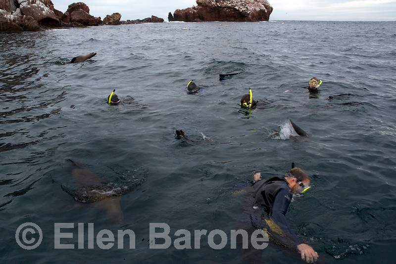 Curious young sea lions join Safari Quest snorkelers off Los Islotes, Sea of Cortez, Baja California Sur, Mexico.