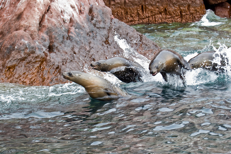 Young sea lions race beside the skiff off Los Islotes, Sea of Cortez, Baja California Sur, Mexico.