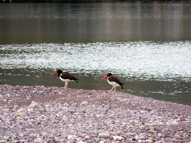 Oyster catchers on the beach of Balandra Bay off Isla del Carment, Sea of Cortez, Baja California Sur, Mexico.