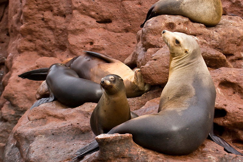 California sea lions, Los Islotes, Sea of Cortez, Baja California Sur, Mexico.