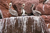 Grey pelicans and blue-footed boobies perch atop a guano covered cliffside,  Isla San Francisco,  Sea of Cortez, Baja California Sur, Mexico.