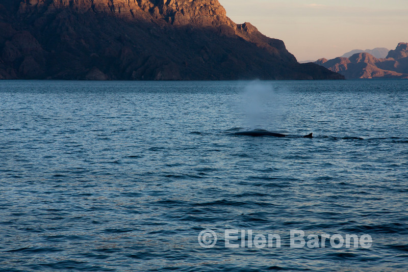 Fin whales, Sea of Cortez, Baja California, Mexico.