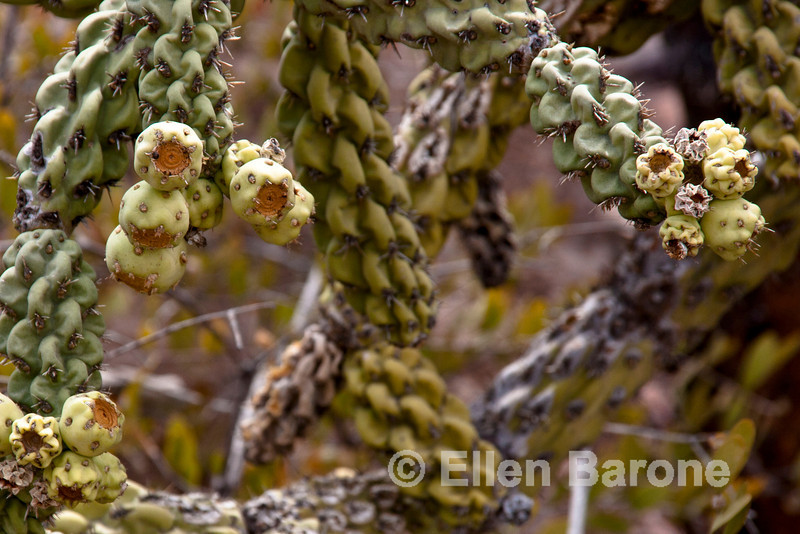 Cholla cactus with fruit, cactus forest, Isla Danzante, Sea of Cortez, Baja Sur, Mexico.