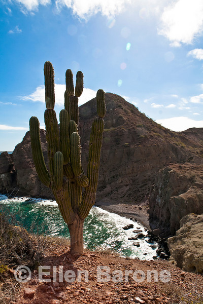 Cardon cactus, Sea of Cortez, Baja California, Mexico.