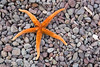 Star fish on rocky beach, Honeymoon Cove, Isla Danzante, Sea of Cortez, Baja California Sur, Mexico.