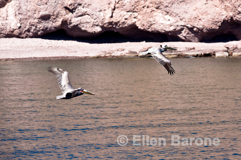 Pelicans in flight, Sea of Cortez, Baja California, Mexico.