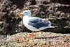 Laughing gull, Los Islotes, Sea of Cortez, Baja California, Mexico.