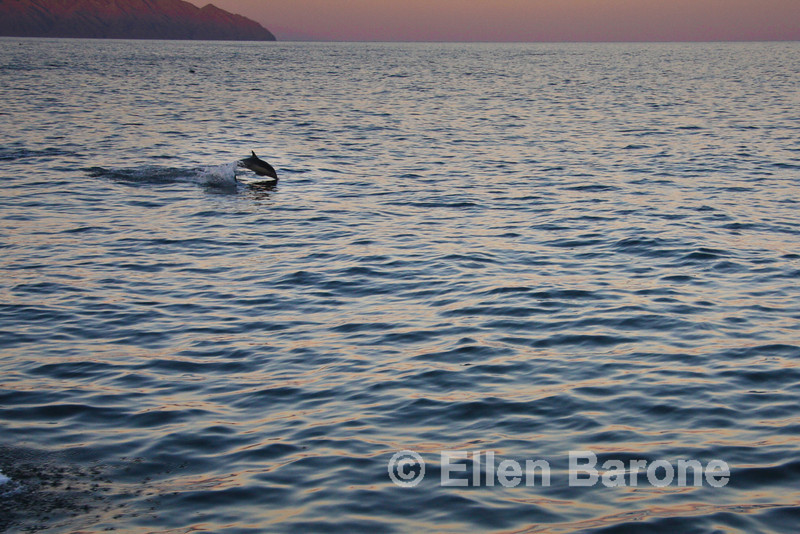 Common dolphin, Sea of Cortez, Baja California, Mexico.