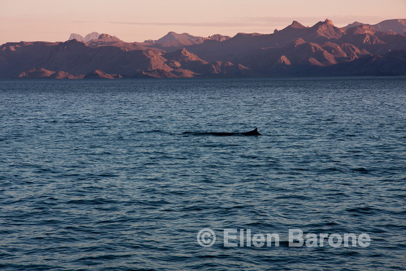 Fin whale, Sea of Cortez, Baja California, Mexico.