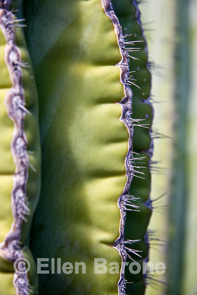 Cardon cactus detail, Sea of Cortez, Baja California, Mexico.