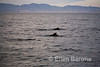 Pilot whales, Sea of Cortez, Baja California, Mexico.