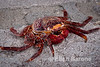 Sallylightfot crab shell, Isla Coyote, Sea of Cortez, Baja California, Mexico.