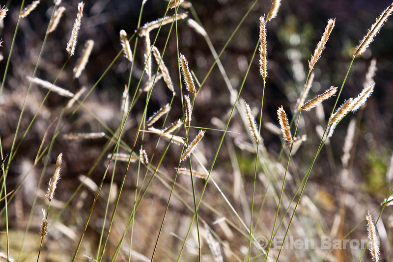 Backlit wild grasses, Falls trail, Bandelier National Monument, Jemez Mountains, New Mexico.