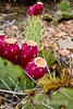 Prickley pear cactus, Santa Fe, New Mexico.