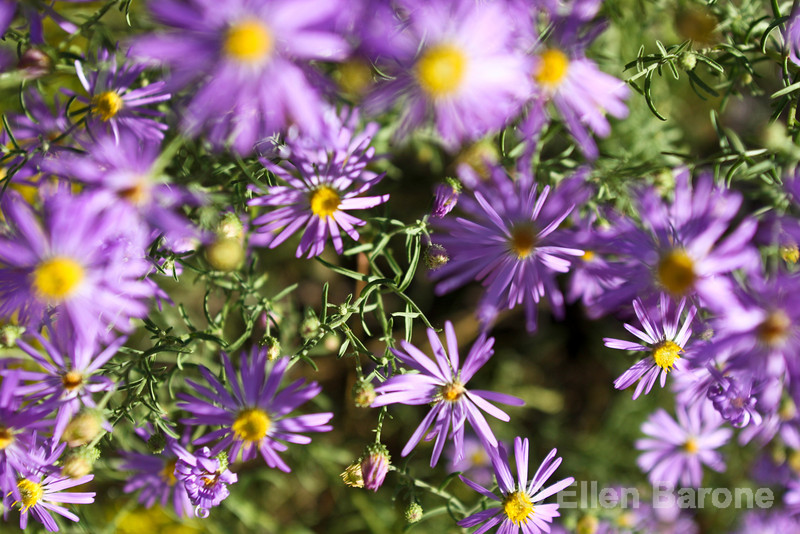 Wildflowers, purple asters, New Mexico.