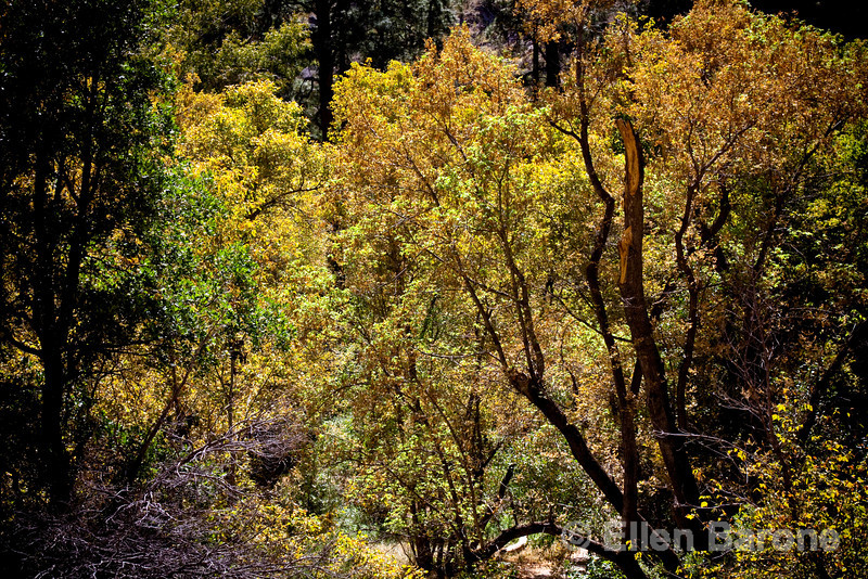 Cottonwoods, Frijoles Canyon, Main loop trail, Bandelier National Monument, Jemez Mountains, New Mexico.