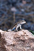 lizard on rock, Falls trail, Bandelier National Monument, Jemez Mountains, New Mexico.
