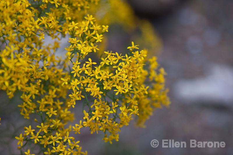 wildflower detail, Falls trail,  Bandelier National Monument, Jemez Mountains, New Mexico.
