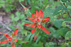 Wild flower detail, Indian Paintbrush, Santa Fe, New Mexico