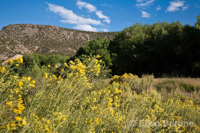 Chamisa in bloom, Abiquiu, New Mexico.