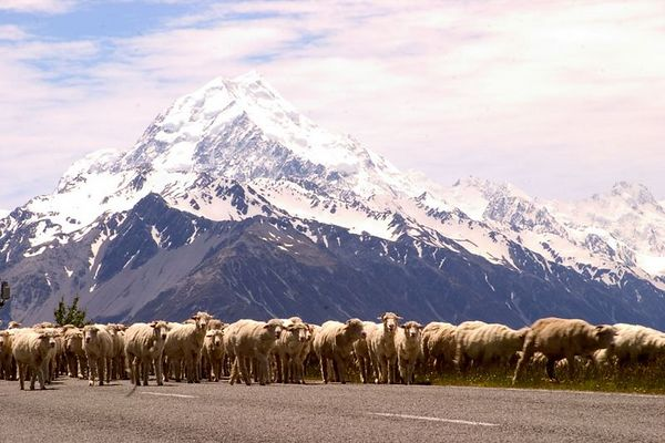 A flock of sheep cross the road with Mt. Cook towering in the background,  Mount Cook National Park, South Island, New Zealand