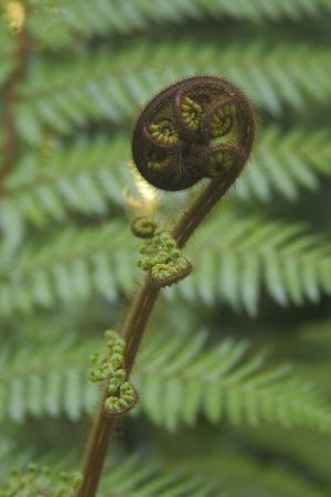The silver fern, or ponga, is widely adopted as a national symbol, New Zealand