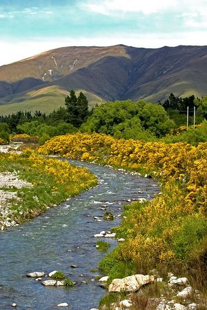 Alpine lake and blooming gorse plant, South Island, New Zealand