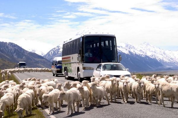 A flock of sheep block traffic, Mount Cook National Park, South Island, New Zealand