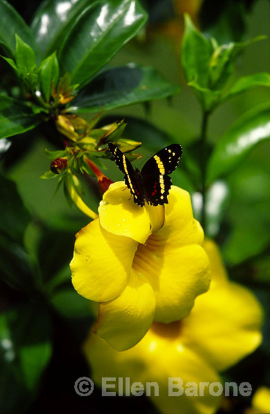 Butterfly on flower, Nicaragua, Central America