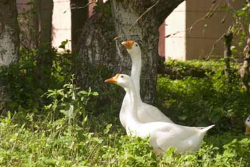 geese, Nicaragua, Central America