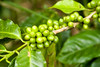 organic mountain grown coffee, Finca Esperanza Verde, nothern Nicaragua, Central America