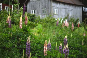 Mountain lupine in bloom and barn, western Norway.