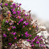 wildflower detail, Croig Harbour, Isle of Mull, Scotland, U.K.