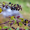 Wild blackberries (bramble bush), Isle of Mull, Scotland, U.K.