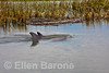 Atlantic bottlenose dolphin, salt marsh creek, Hilton Head Island, South Carolina, USA, North America.