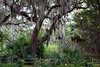 Live oak draped with Spanish moss, Coastal Discovery Museum at Honey Horn, Hilton Head Island, South Carolina, USA, North America.