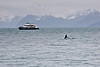 Glacier Express tour boat and orca whale tail,  wildlife viewing cruise, Resurrection Bay, out of Seward, Alaska.