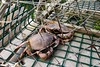crabs, lobster cage, Newfoundland, Canada