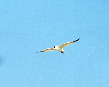7/7/02 Caspian Tern (Sterna caspia). Diaz Lake, Lone Pine, Eastern Sierras, Inyo County, CA