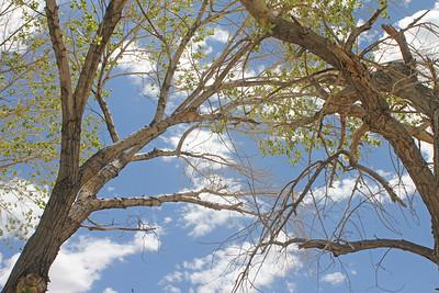 8/18/11 Cottonwood Tree at picnic area, Diaz Lake. Lone Pine, Eastern Sierras, Inyo County, CA