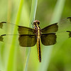 Dragonfly, Dinosaur Valley State Park