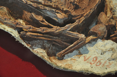 "This is a close-up of the skull and jaws (upside-down -- you're looking at the underside of the lower jaw just left of center, below the tail) of the little theropod Sinornithoides.  Though later fossils, like Mei made the notion of ""small, non-avian theropod dinosaurs preserved curled up in bird-like sleeping positions"" famous, this was actually one of the first...and to this day, the specimen really hasn't been described all that well!"